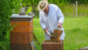 Wieder mehr Honigbienen