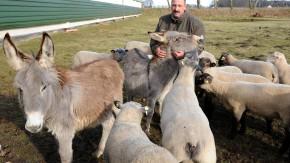 Esel schützen Schafe vor Wölfen