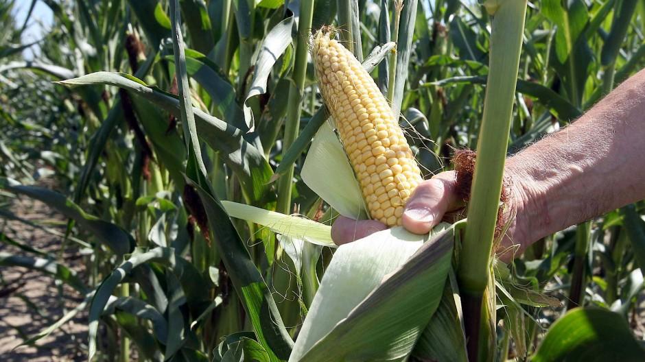 Mais und andere Nutzpflanzen müssen hitze- und dürrebeständiger werden, wenn die Temperatur auf der Erde weiter zunimmt.