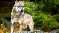 Ist der Zaun unüberwindbar, beginnt er zu graben: Wolf im Nationalpark Bayrischer Wald