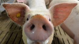 Schweineohren sollen Briten Brexit schmackhaft machen