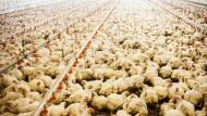 Umweltministerin Hendricks will große Mastanlagen bekämpfen