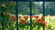 Klassiker: Schmiedeeiserne Zäune sind beliebt, auch weil sie Pflanzen Rankhilfe bieten.