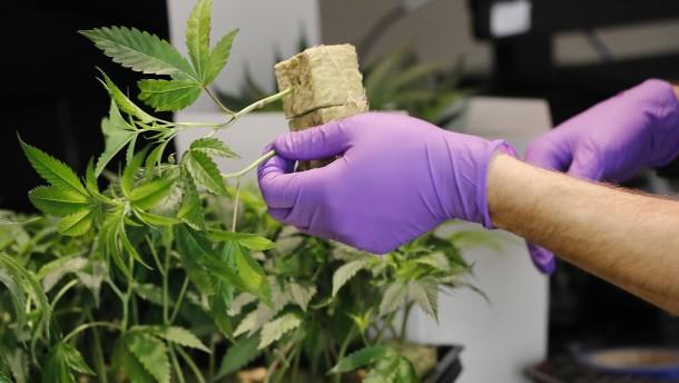 Cannabis-Legalisierung: 40 Milliarden Dollar Einnahmen?