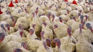 Nach Geflügelpestausbruch werden 31.000 Puten getötet