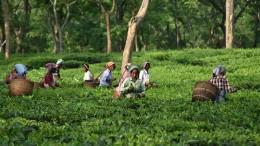 Darjeeling-Ernten fallen Streik zum Opfer