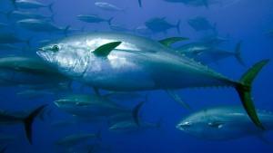 Fischbestände seit 1970 stark abgenommen