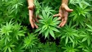 Ernte für mehr Weisheit? In einem Ort in Amerika finanzieren jetzt Marihuanasteuern Stipenden für Studenten.