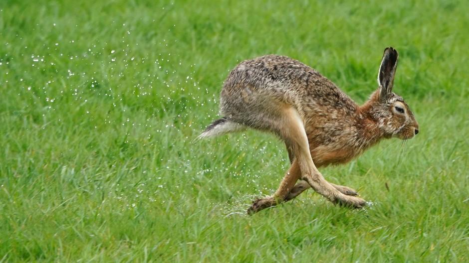 Der Feldhase gehört in Deutschland zu den gefährdeten Arten.