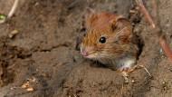 Eine Maus auf dem Schweineberg bei Hameln