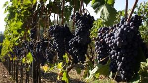 Italien erobert Spitzenplatz in der Weinproduktion zurück