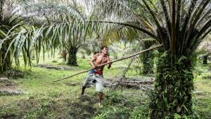 Indien will in großem Stil Palmöl anbauen