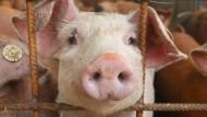 In der Tierhaltung werden in großen Mengen Antibiotika eingesetzt.
