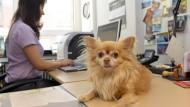 Neue Herrscher im Büro: Die Zahl der Tierliebhaber, die ihre Vierbeiner mit ins Büro nehmen, wächst.