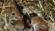Feldmäuse-Babyboom alarmiert Bauern