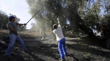 Olivenernte in Südspanien