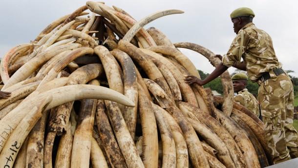 Kenia will über 100 Tonnen Elfenbein verbrennen