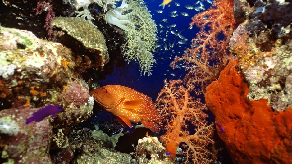 Ein Korallenriff in den Malediven: Die Bedrohung dieser Ökosysteme gilt  als ein Vorbote von dem, was der Klimawandel bewirken wird.