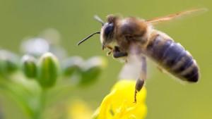 EU will Bienen besser schützen