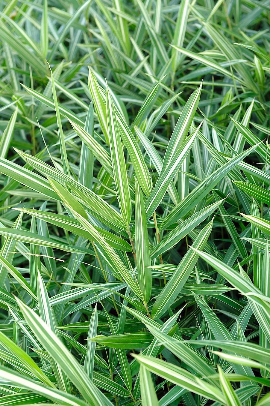 Als Bodendecker eignet sich der zweifarbige Zwerg-Bambus.