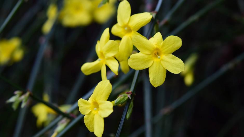 Auch der Winter-Jasmin öffnet schon seine gelben Blüten.