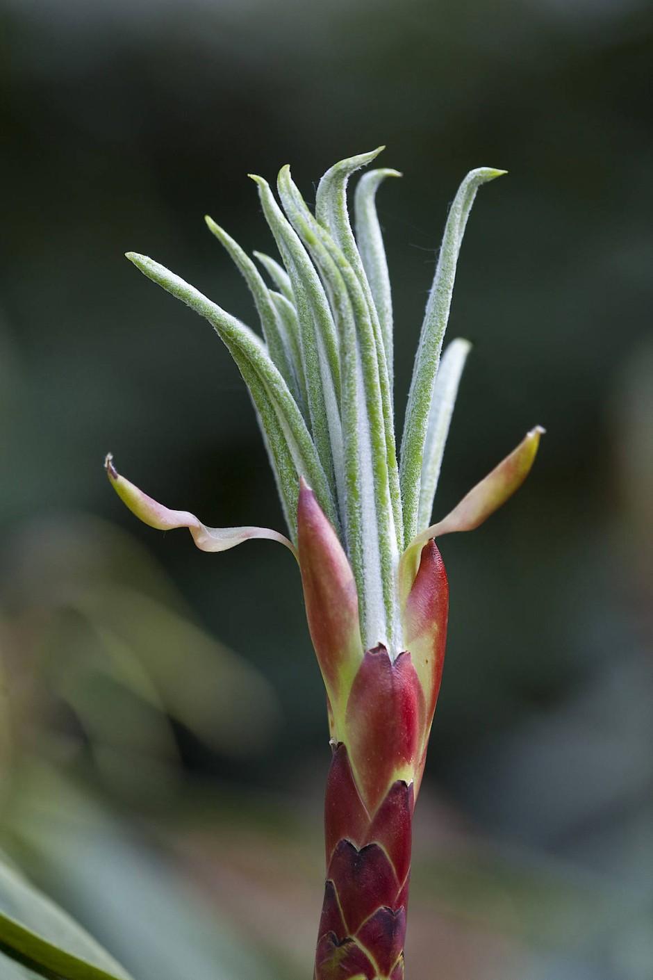 Vielversprechend: Austrieb des Riesenblatt-Rhododendrons.