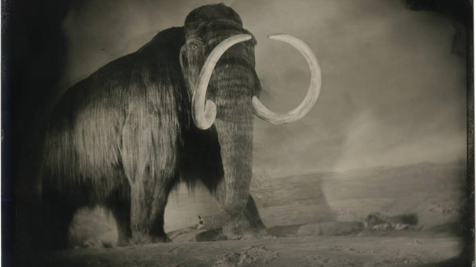 Schulterhöhe an die vier Meter und ein Gewicht von sechs Tonnen und mehr: Natürliche Feinde musste das Wollhaarmammut kaum fürchten.