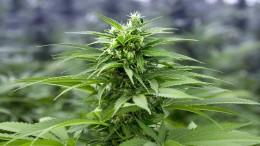 Zehn Millionen Dollar für einen Cannabis-Pionier mit Vergangenheit