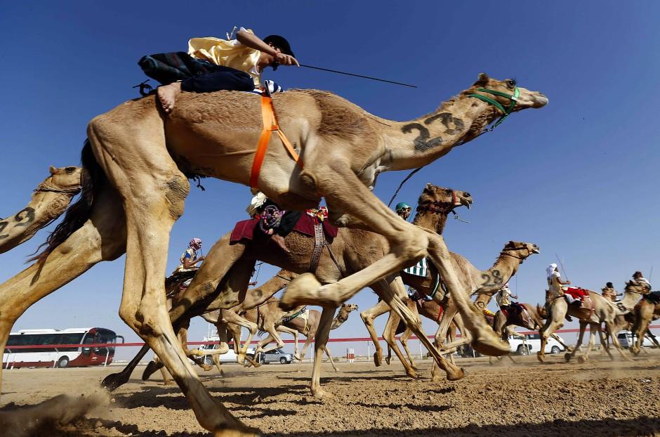 Für die Tiere weniger ein Vergnügen: Kamelrennen beim Sheikh Sultan Bin Zayed al-Nahyan Camel Festival, 2013 in Abu Dhabi