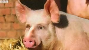 Schweinische Pläne?