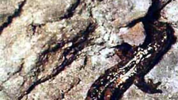 Zungenfertige Salamander