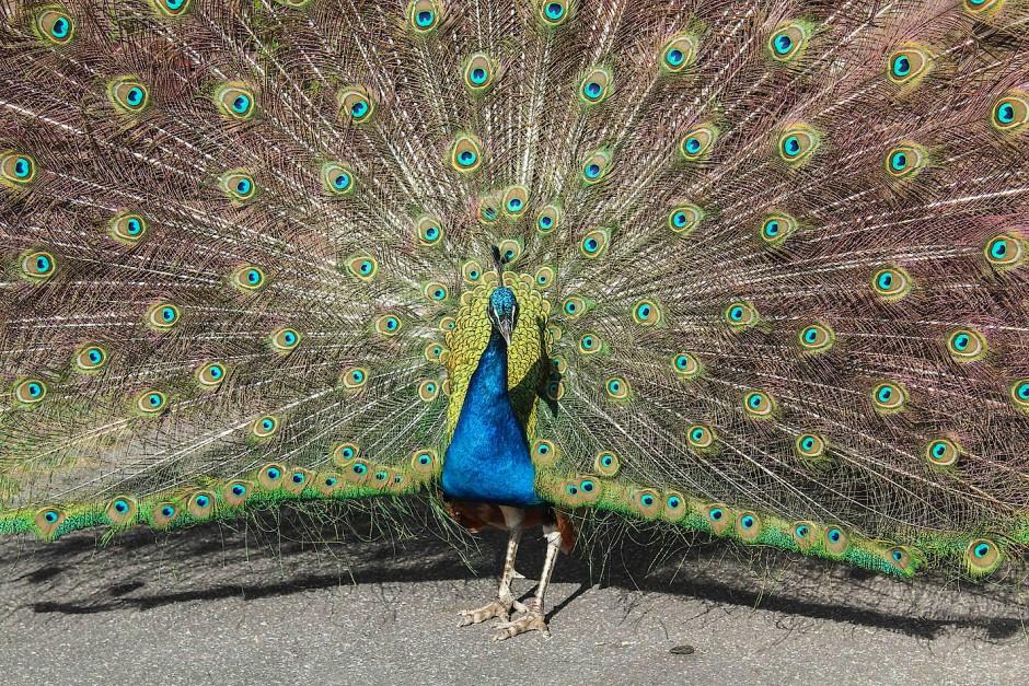 Selsamerweise findet der hoch aufragende Teil der aufgefächerten Federschleppe bei den Weibchen nur wenig Beachtung.