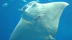 Das Mittelmeer ist für Haie und Rochen ein gefährlicher Ort
