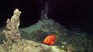 """Ein Feld klarer Raucher hat das unbemannte U-Boot """"Rov Kiel 6000"""" vor Island entdeckt. Ein Rotbarsch wird vom Licht des Scheinwerfers angelockt."""