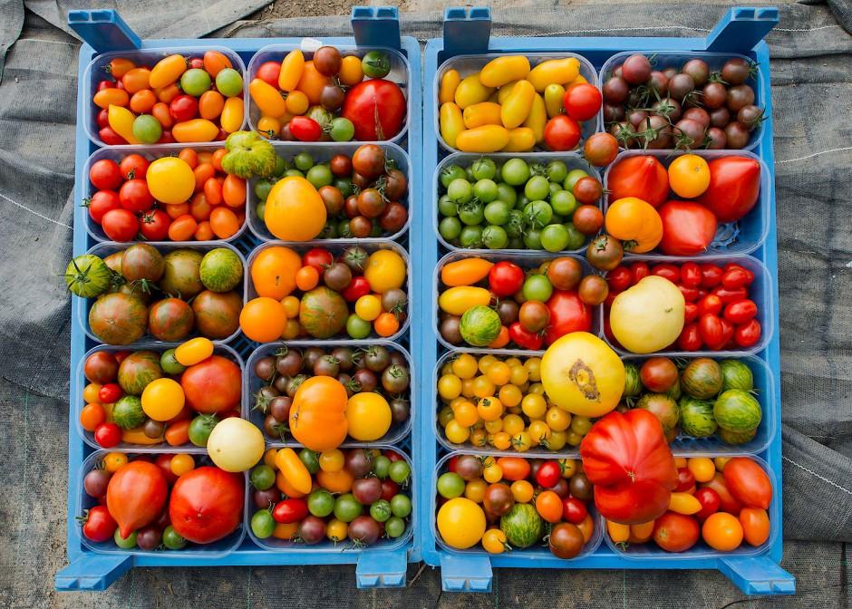 dank genforschung k nnten tomaten wetterfest werden. Black Bedroom Furniture Sets. Home Design Ideas