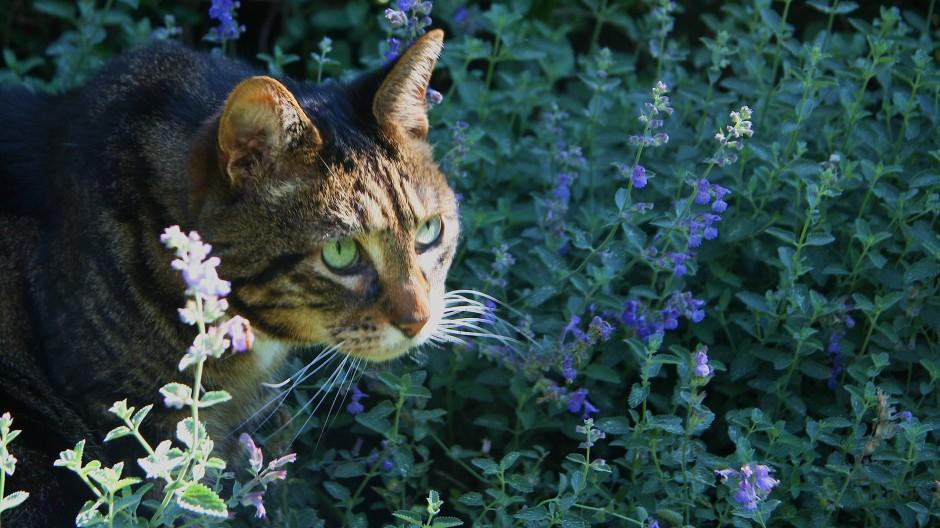 Vom Duft betört: Eine Katze streunt in einem Strauch Katzenminze umher.