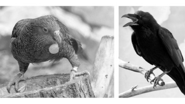 Of Ravens and Keas