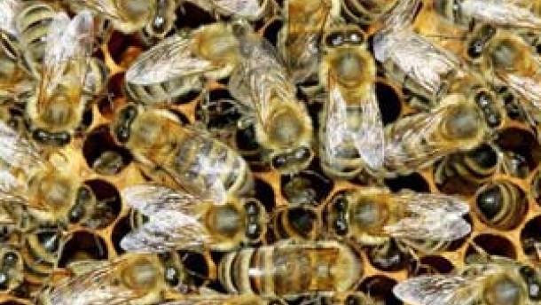 Mundpropaganda im Bienenstaat