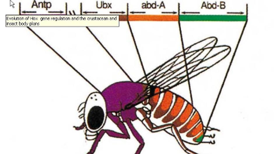 Zum Beispiel die Taufliege: Expression von Hox-Genen in den verschiedenen Körperregionen