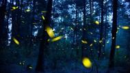 """Glühwürmchen senden in der Paarungszeit Leuchtsignale aus, aufgenommen im mexikanischen Naturschutzgebiet """"Santuario de las luciernagas"""" (""""Heiligtum der Glühwürmchen"""") bei Nanacamilpa."""