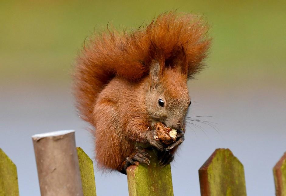 Das rotbraune Eichhörnchen wurde aus einigen Gegenden in England komplett vertrieben.