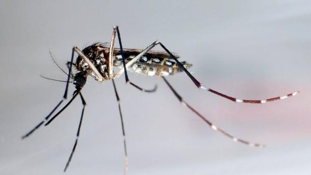 Mücken-Zuchtstation gegen Denguefieber