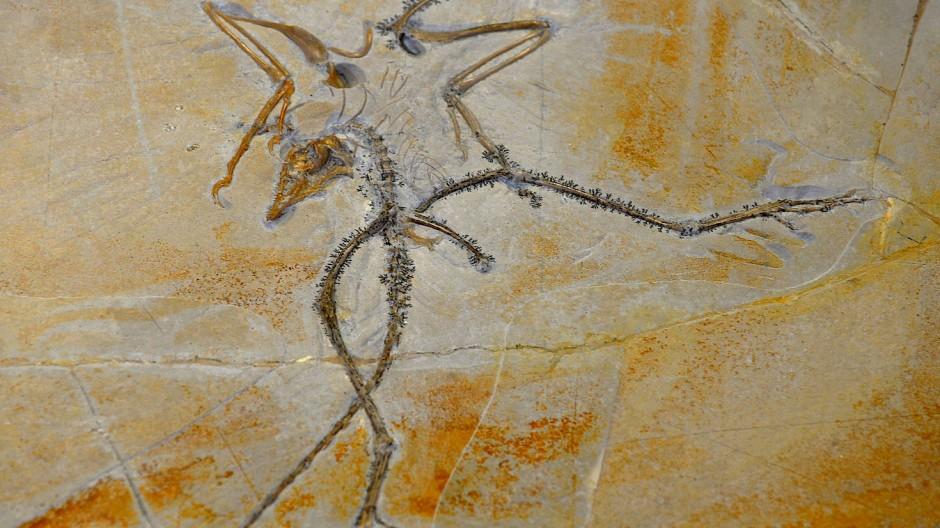 Fossilplatte aus dem Solnhofer Steinbruch mit Archaeopteryx Nr. 10.