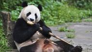 Ein in Gefangenschaft lebender Panda frisst Bambus