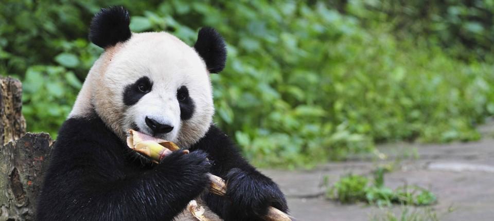 Bambus Diat Wie Pandas Energie Sparen