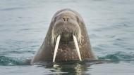 Was das Walross mit dem Killerwal zu tun hat