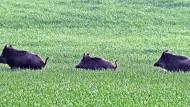 Afrikanische Schweinepest: Kann ein Zaun verhindern, dass Wildschweine die Seuche ins Land tragen?