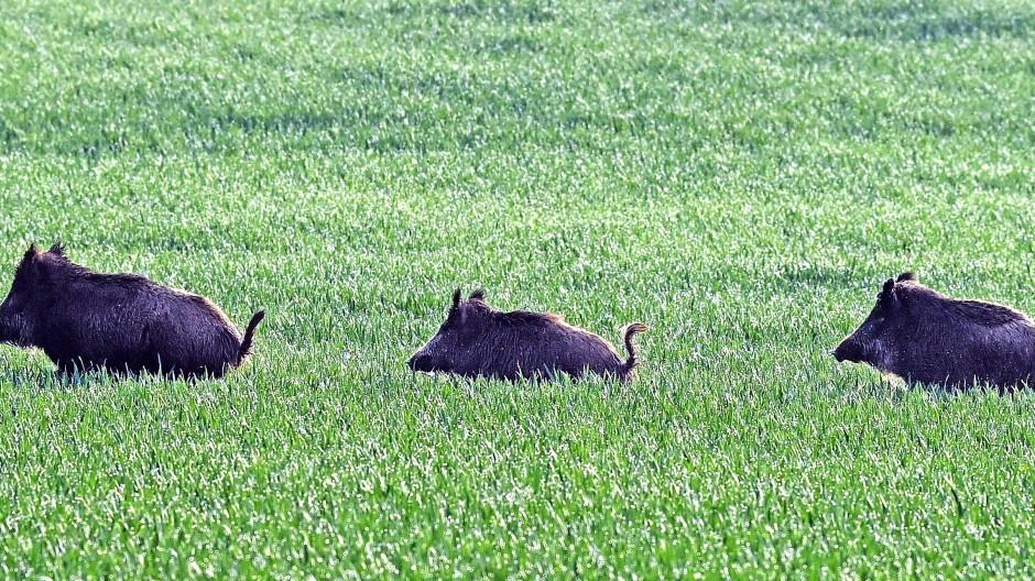 Wildschweine in Brandenburg