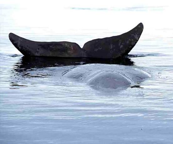 meeresforschung gr nlandwale sind tr ge j ger natur faz. Black Bedroom Furniture Sets. Home Design Ideas