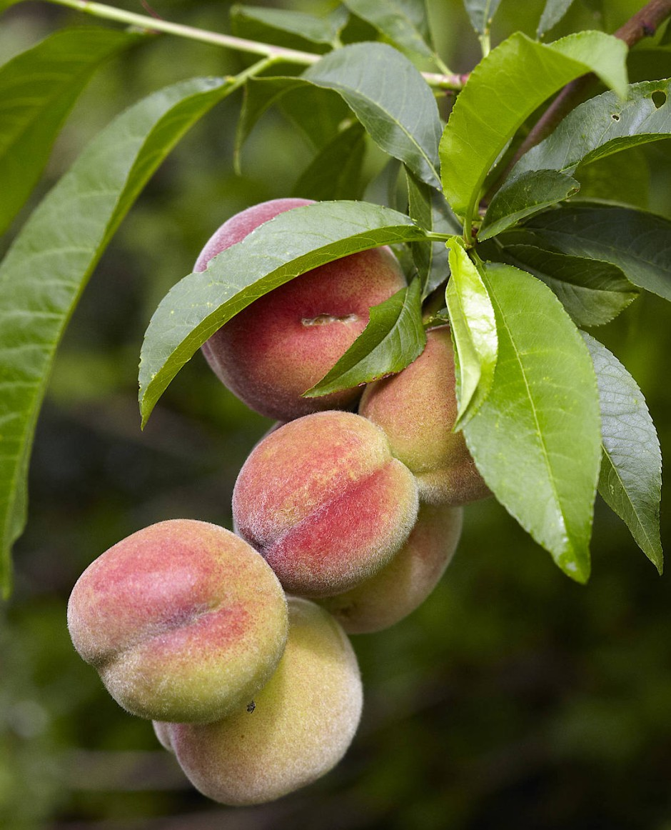 Der Pfirsich hat in seinen Blüten, Blättern und Wurzeln unterschiedliche Mutationsraten, damit verringert er die Gefahr, dass Fehler im Genom an die nachwachsende Generation weitergegeben werden..